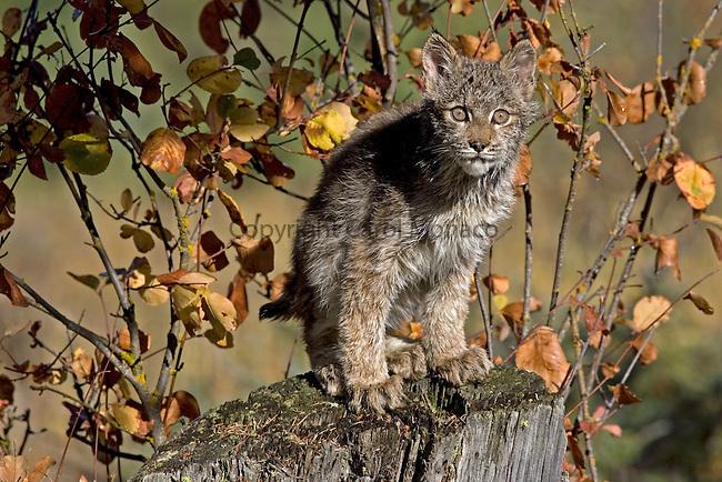 A threatened Canada lynx cub standing on a tree stump, Montana, North America