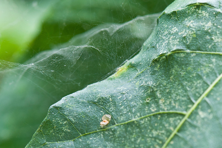 The fine web and mottled leaves caused by spider mite infestation of a fig tree, mid September.