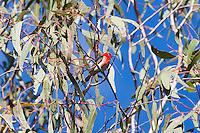 Scarlet Honeyeater, Mareeba, Queensland, Australia