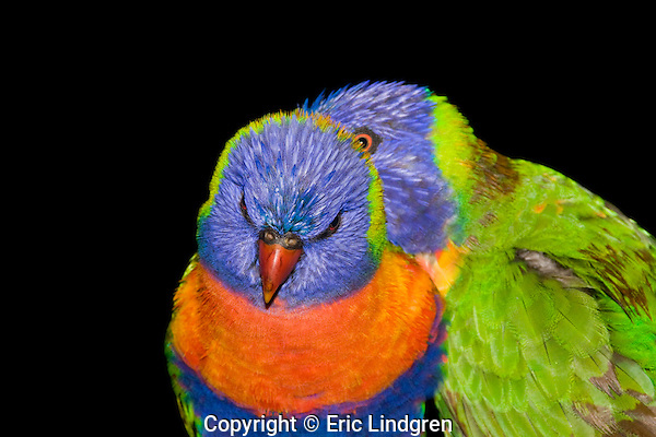 Rainbow Lorikeets pair bonding, Brisbane Australia   //   Rainbow Lorikeet - Psittacidae: Trichoglossus haematodus. Length to 30cm; wingspan to 45cm; weight to 150g; Found in northern and eastern Australia from the Kimberley Region in northern Western Australia (Red-collared Lorikeet subspecies) to eastern South Australia. Occurs in forests, woodlands, heath, and rural and urban areas. Aviary-escapees are established in many towns and cities. Widespread with many subspecies - often with a different name - from eastern Indonesia through New Guinea east to Vanuatu and New Caledonia, north to the Philippine Islands.   Some feathers change colour when a Rainbow Lorikeet changes is wet - the differences in colour types- either pigment-related or structure-related cause this. In the background lorikeet the colour of the nape green feathers is last to return after being caught in a rainstorm. The green colour of the the wings and back comes mainly from the micro-structures of the feather barbules that interfere with light wavelengths and change one colour to another -  when molecules of water in the rain fill in these micro-structures the green colour alters to brown. Pigment-based colours are not affected, unless they have both pigmented and structured attributes. When dry this bird will return to its normal gaudy plumage.  IUCN Status: Least Concern.   //Eric Lindgren//