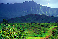 Guava tree orchard at Kilauea Agronomics, Inc., Island of Kauai
