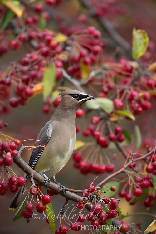 Cedar Waxwing (Bombycilla cedorum) feeding on red berries in Central Park in New York City, New York in the Fall.