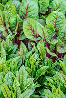 Swiss Chard and other leafy plants are used as border plantings for the gardens at Cantigny Park in Wheaton, Illinois