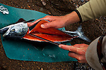Here a silver salmon is filleted for dinner at a tent camp in Lake Clark National Park, Alaska.  Photo by Gus Curtis.