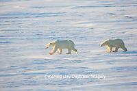 01874-14310 Polar Bears (Ursus maritimus)  in Cape Churchill Wapusk National Park,  Churchill, MB Canada