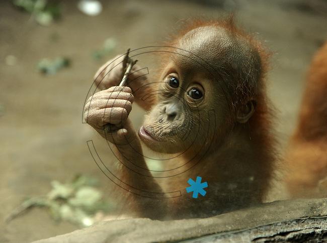 Pongoland Zoo Leipzig - MPI - im Bild: Oran-Utan - Jungtier Baby Batak.  Foto: Norman Rembarz ..