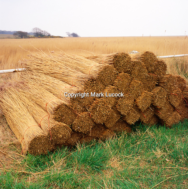 Reeds cut for thatch, Suffolk