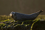 Harbor Seal (Phoca vitulina), Elkhorn Slough, Monterey Bay, California