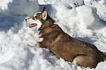 Husky Malamute in snow pile.
