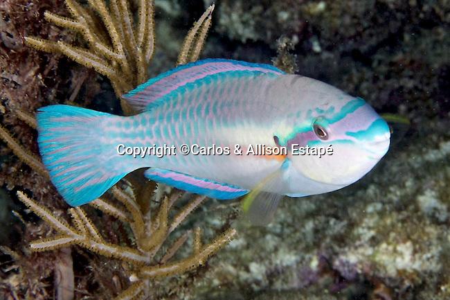 Scarus iserti, striped parrotfish, Florida Keys