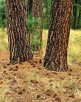 Ponderosa pine trees in the Apache-Sitgreaves National Forest, AZ
