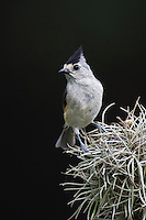 Black-crested Titmouse, Baeolophus atricristatus, adult perched on moss, Hill Country, Texas, USA, April 2007