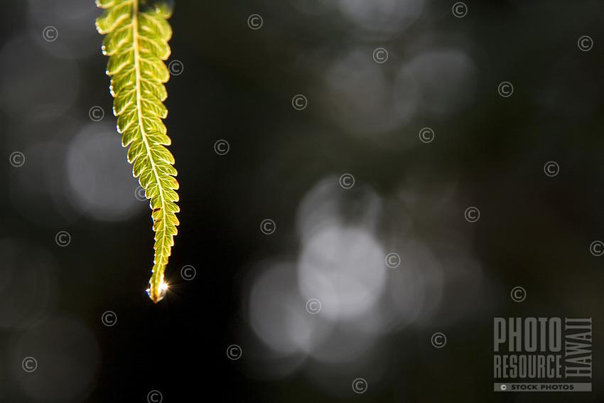 Tropical Hawaiian fern with morning dew in Volcano Village