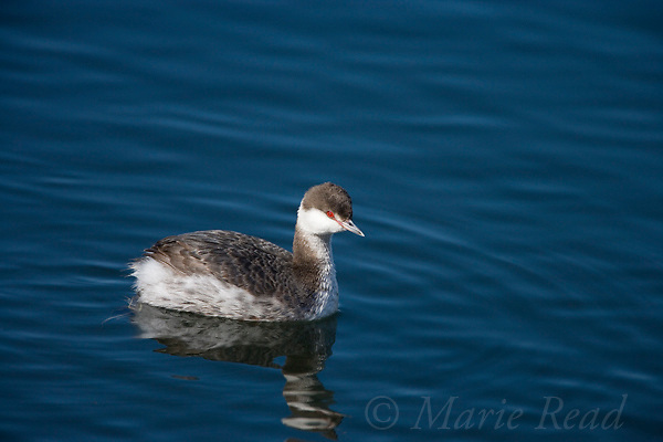 Horned Grebe (Podiceps auritus), winter plumage, Bolsa Chica Ecological Reserve California, USA. (ID: red line between eye and bill)