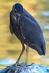 Black Crowned Night Heron, Nycticorax nycticorax, Juvenile. .USA....