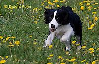 SH25-792z English Springer Spaniel Dog running