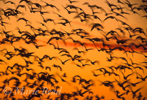 Snow Geese (Chen caerulescens) silhouetted in flight against a sunrise sky, Bosque Del Apache National Wildlife Refuge, New Mexico, USA<br /> Slide # B24-5811