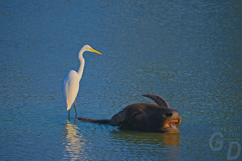Wild Water buffalo and egret- Yala National Park, Wildlife