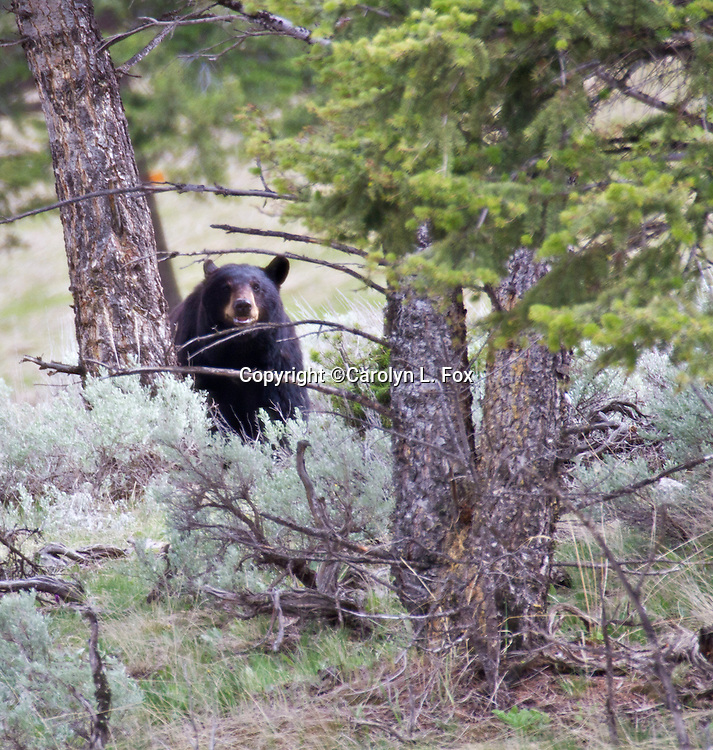 A black bear wanders through the Yellowstone wilderness.