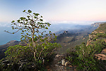 Dhofari Jatropha (Jatropha dhofarica) on cliff edge over cloud forest, Hawf Protected Area, Yemen