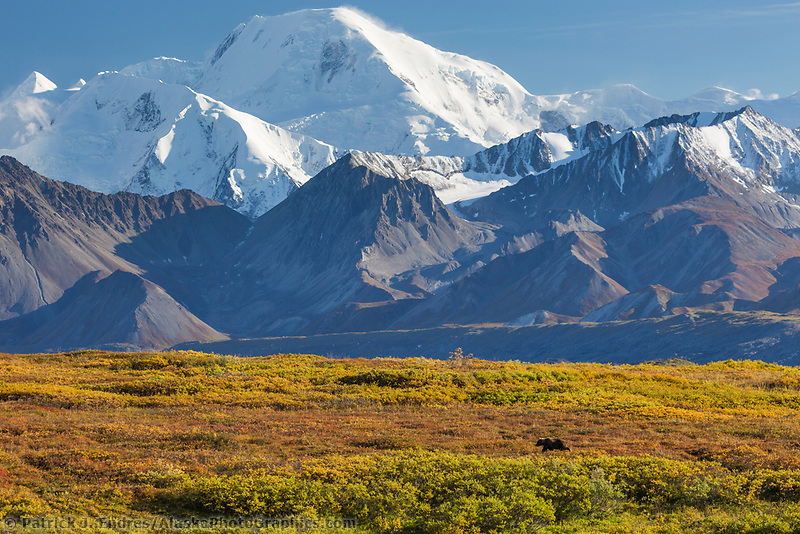 Grizzly bear forages on blueberries in the autumn tundra beneath mt mather of the Alaska Range mountains, Denali National Park, Alaska.
