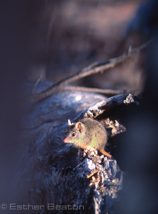 Yellow-footed Antechinus (Antechinus flavipes) hunting in fallen timber. Southeastern Australia. Seen through hole of photographer's hide.