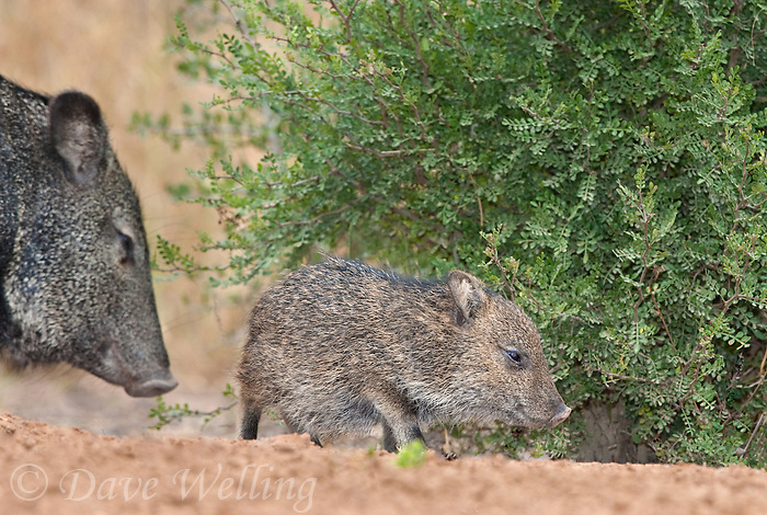 650520162 a baby javelina or collared peccary dicolytes tajacu on beto gutierrez ranch hidalgo county texas united states