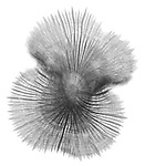 X-ray image of a Diaseris mushroom coral (black on white) by Jim Wehtje, specialist in x-ray art and design images.