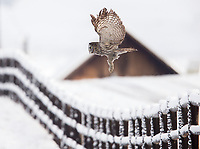 Great Gray Owls travel great distances south or downslope during the winter when they may be found in unusual places such as farmlands and ranches.