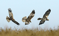 Marsh Harrier - Circus aeruginosus - male - left and centre - female - right. Wingspan 110-125cm.Graceful wetland raptor. Adult male is mostly reddish brown with blue-grey head and grey tail. In flight, note patches of grey and reddish brown on wings, and black wingtips. Adult female is mainly dark brown with pale leading edge to wings and pale cap and chin. Tail is reddish brown. Juvenile is similar to an adult female but tail is dark brown. Voice – mainly silent. Status and habitat – Commonest in summer months, but some birds are present year-round. Usually seen in flight over marshes and reedbeds. Easiest to see in East Anglia.