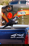 Raven Transportation Decision, Grand Canyon Railway Depot, South Rim, Grand Canyon, Arizona