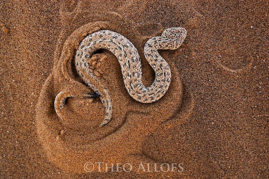 Namibia;  Namib Desert, Skeleton Coast, sidewinding adder burrowing itself into sand dune (Bitis peringueyi)