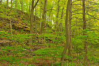 Hardwood forest in spring.  Golden Horseshoe. Niagara Peninsula.<br />