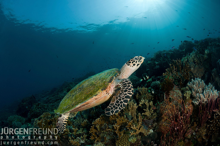 Hawksbill turtle (Eretmochelys imbricata) in the reef