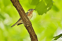 Young male Bay-breasted Warbler (Setophaga castanea).  Great Lakes Region, May.