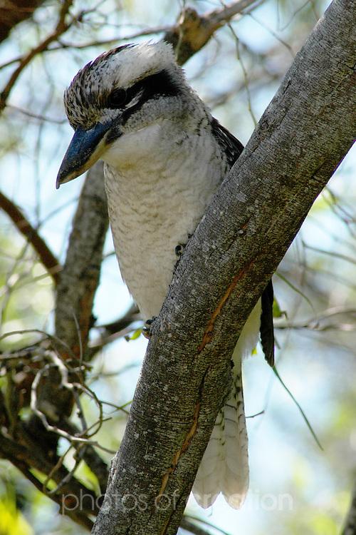 Laughing Kookaburra-Dacelo novaeguineae