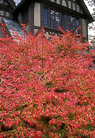 Euonymus alatus in autumn fall Burning Bush color