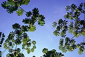 Amazon, Para State, Brazil. Cecropia sp. (Embauba, Imbauba); medicinal uses for bronchitis, coughs, heart and kidneys.