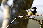 Great Tit, Parus Major, standing on a branch
