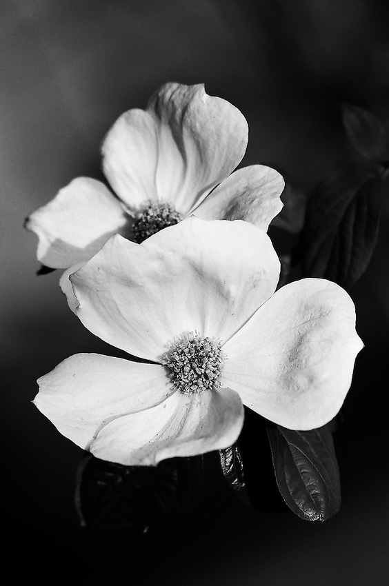 Dogwood, Yosemite ,  35mm image on Ilford Delta 100 film