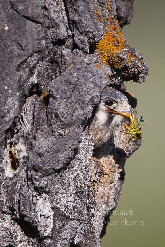 An American Kestrel chick clutches a cricket after a food delivery from his mohter.