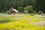 Idaho, West Central, New Meadows. A  meadow of buttercups with a red barn in Spring.