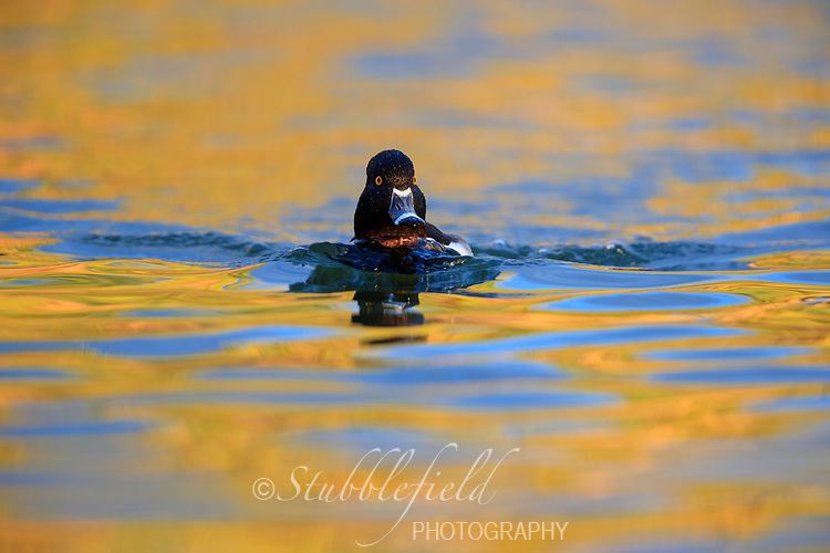 Ring-necked Duck (Aythya collaris), male swimming in a lake at Papago Park in Phoenix, Arizona.