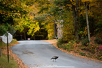 A wild turkey crosses a road under changing leaves in Leverett, Massachusetts, USA.