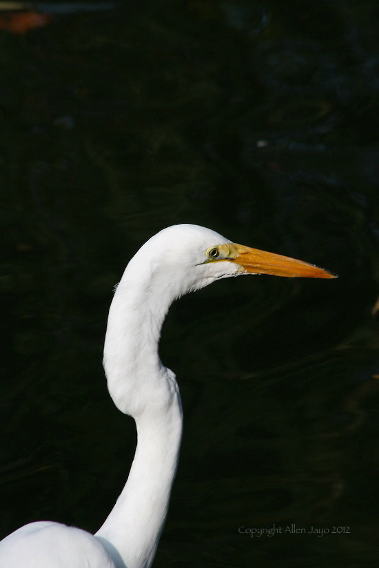 HEAD SHOT OF GREAT EGRET