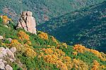 Italie. Italia. Sardaigne. Sardinia.maquis avec mimosas et cystes.
