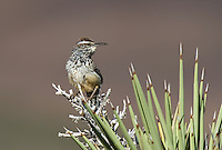 598060025 a wild adult cactus wren campylorhynchus brunniecepillus sings from the spine leaves of a joshua tree yucca brevifolia in southern kern county california
