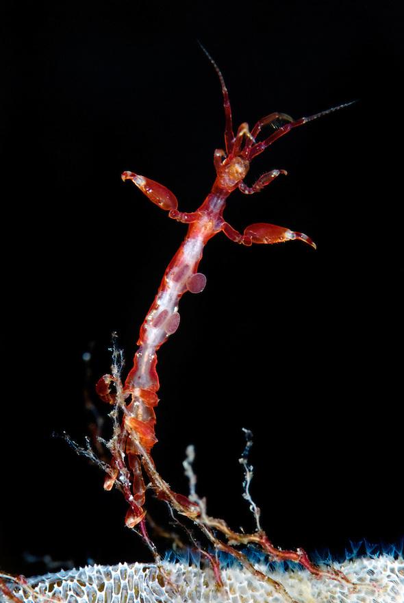 Skeleton shrimp, Caprellidea sp, on a hydroid..Atlantic marine life, Saltstraumen, Bodö, Norway