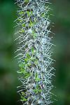 Malagasy Spiny Bush, Euphorbia stenoclata, close up of spines/thorns, Palmarium, Ankanin'ny Nofy, Madagascar