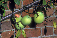Chaenomeles cathayensis in fruit (Quince) against brick wall